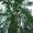 Саженцы липы,  клена,  березы в Тверской областию #734652