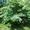 Посадочный материал,  саженцы деревьев и кустарников. #1521626
