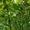 Крушина ломкая. медонос (саженцы) #1574441