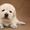 щенки лабрадор ретривер (всех окрасов) #1688746