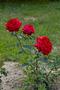 Саженцы роз (продажа)