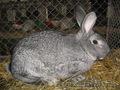 Кролики Французкий баран и русская шиншилла