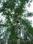 Саженцы липы,  клена,  березы в Тверской областию