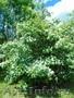 Посадочный материал,  саженцы деревьев и кустарников.