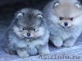 Миниатюрные щеночки шпица